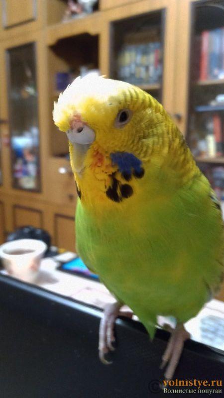 Помогите определить здоров ли попугай? - 2 - F5_eYn0NFPI.jpg