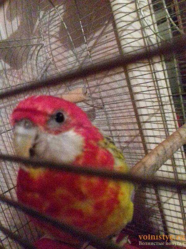 У попугайчика Роннички что-то с глазами...подскажите что это может быть - IMG-2a8283dc60051e3b0fe2821e5b549853-V.jpg