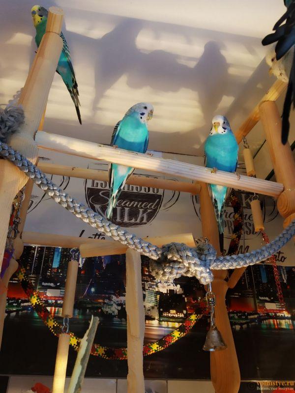 Волнистые попугаи-Самки   Мытищи-Медведково - 1610285273581.jpg