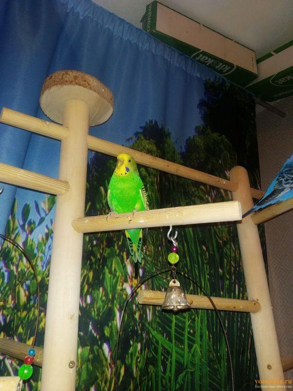 Волнистые попугаи-Самки   Мытищи-Медведково - 1610195362792.jpg