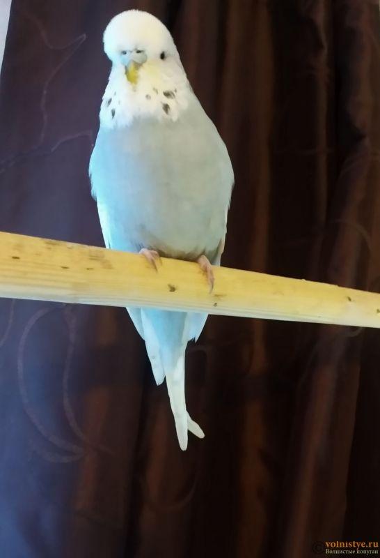 Волнистые попугаи Чехи -Самки - 1610284978717.jpg