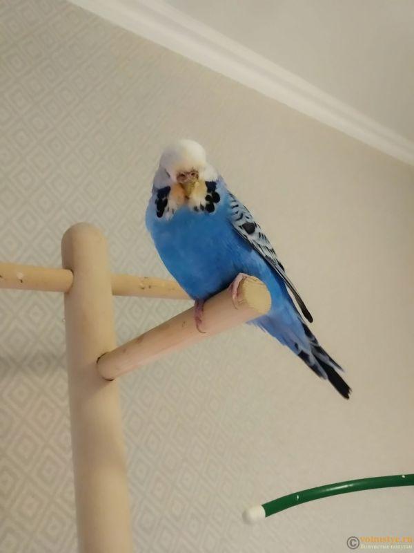 Волнистые попугаи Чехи -Самки - IMG_20201213_180551.jpg