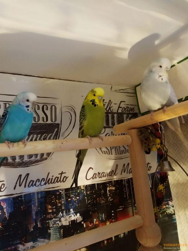 Волнистые попугаи Чехи -Самки - 1610284978698.jpg