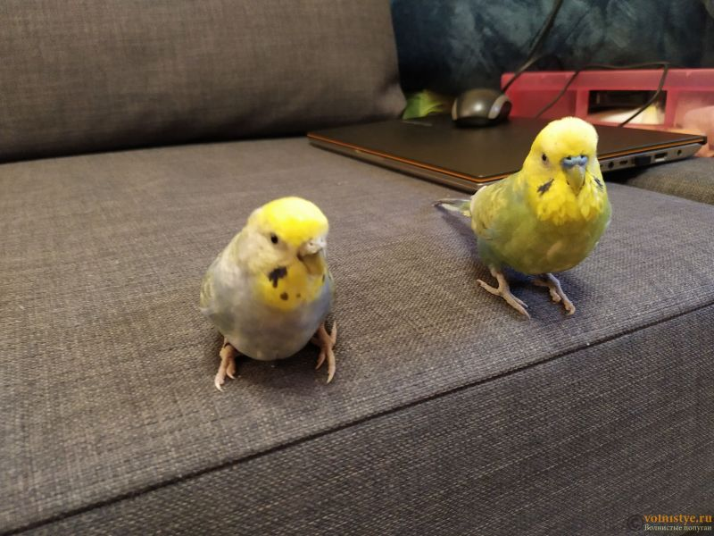 Продам самочку птенец (родилась 18.12.20) радужного попугая - IMG_20210111_144801.jpg