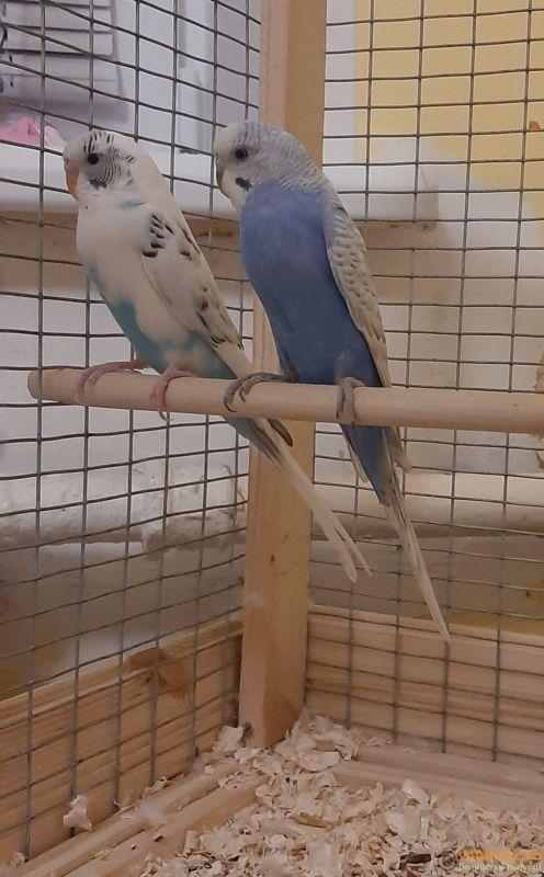 Определение пола и возраста попугаев № 13 - 20210220_230643.jpg