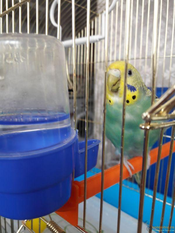 Определение пола и возраста попугаев № 13 - 20210221_115255.jpg