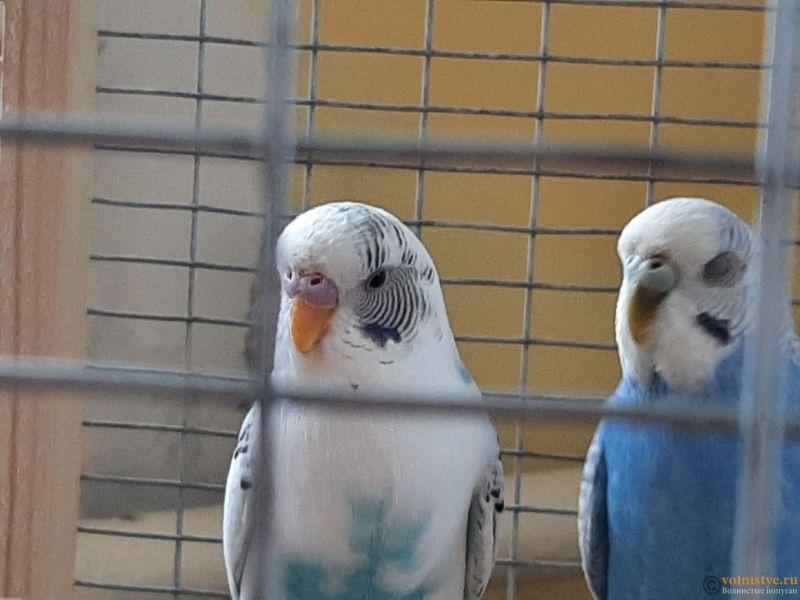Определение пола и возраста попугаев № 13 - 20210222_103451.jpg