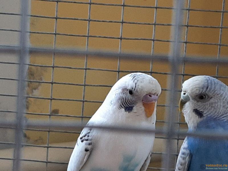 Определение пола и возраста попугаев № 13 - 20210222_103505.jpg