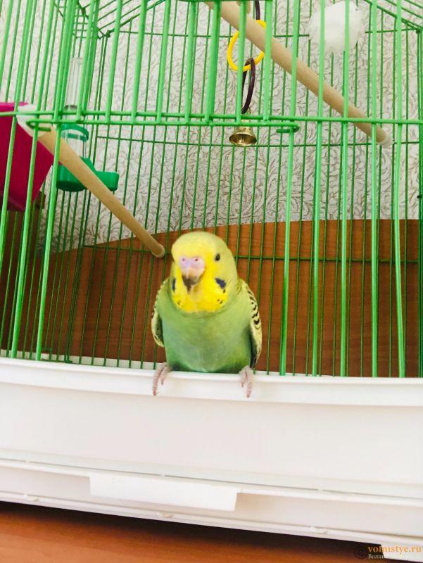 Определение пола и возраста попугаев № 13 - B2B94FD8-2E3E-4DF0-B676-5B3DB72D5799.jpeg