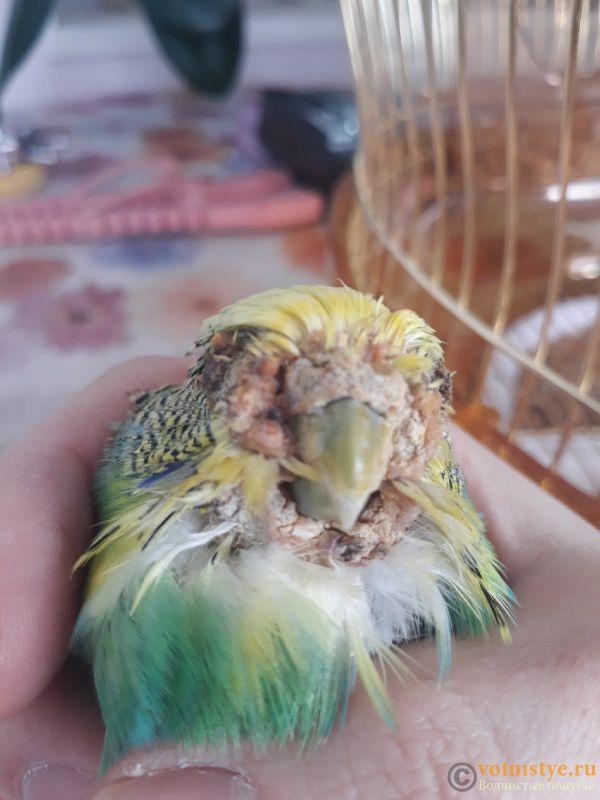 Болезнь попугая - fab5g6t0GPA.jpg