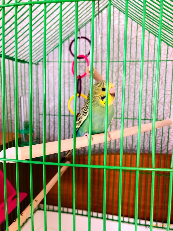 Определение пола и возраста попугаев № 13 - IMG_3267.jpg