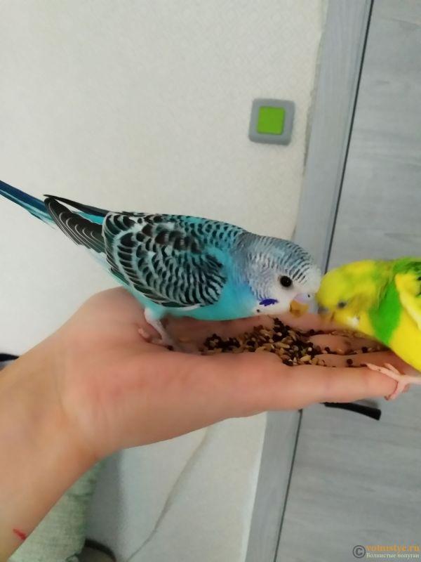 Волнистые попугаи Птенцы-Самки    Мытищи-Медведково - 1620044976673.jpg
