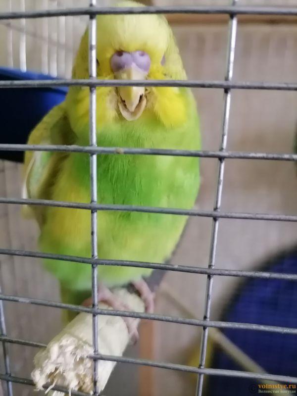 Подскажите, у попугая клещ? - 3 - IMG_20210519_114558.jpg
