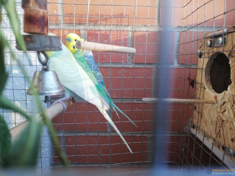 Беременность попугаев - IMG_20210701_202636.jpg