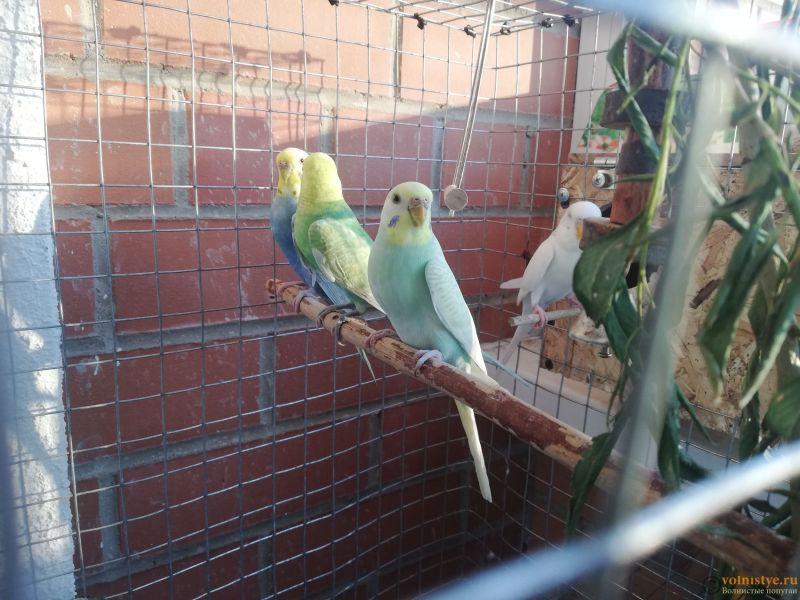 Беременность попугаев - IMG_20210701_202240.jpg