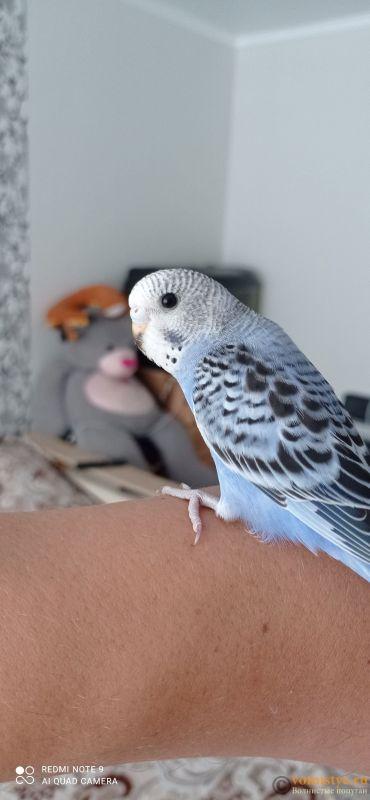 Определение пола и возраста попугаев № 13 - IMG_20210703_140149.jpg