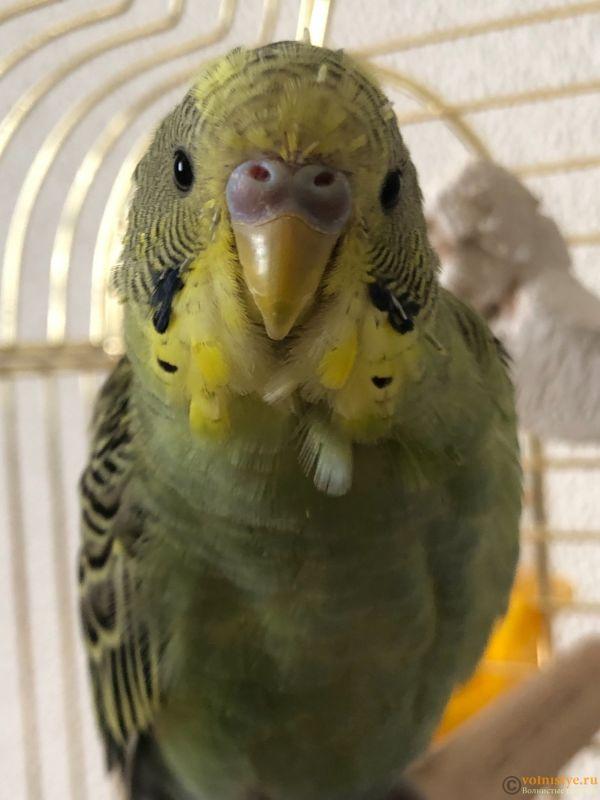 Определение пола и возраста попугаев № 13 - 5BCF7332-6709-457D-95AF-E95137E162B4.jpeg