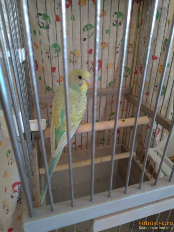 Фотографии  для статьи  окрасы волнистых попугаев - IMG-20210713-WA0000.jpg