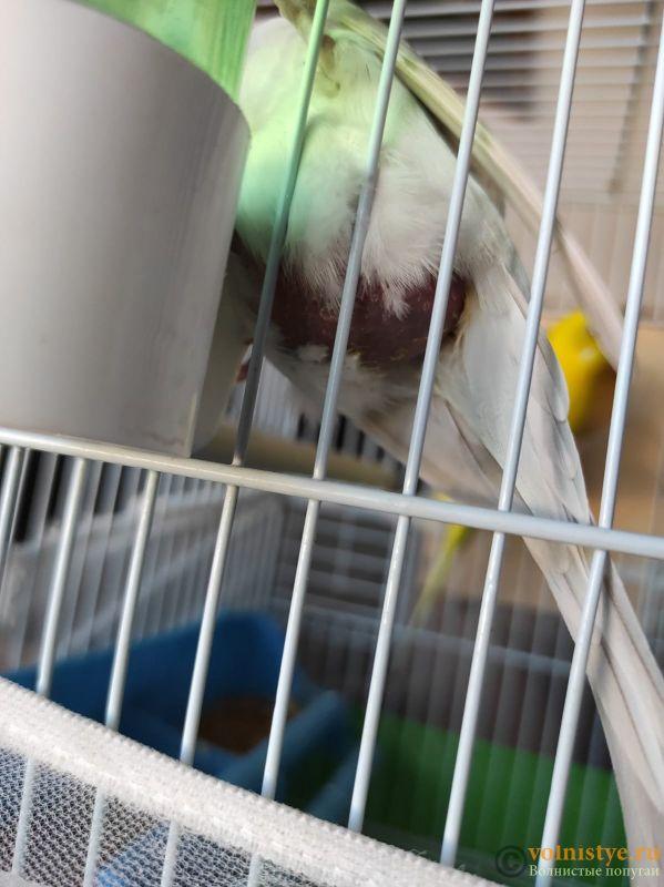 Беременность попугаев - IMG-20210702-WA0005.jpg