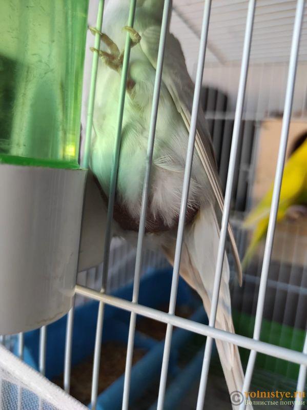 Беременность попугаев - IMG-20210702-WA0004.jpg