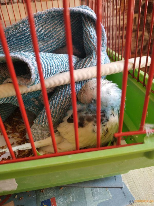 Волнистый попугай умирает - IMG_20210723_133056.jpg