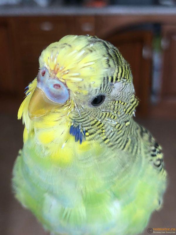 Определение пола и возраста попугаев № 13 - IMG_8057.jpg