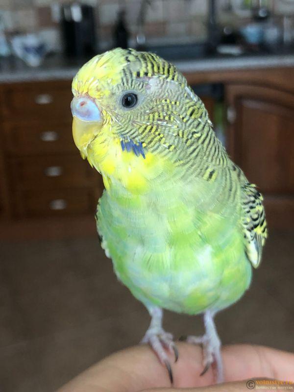 Определение пола и возраста попугаев № 13 - IMG_8059.jpg