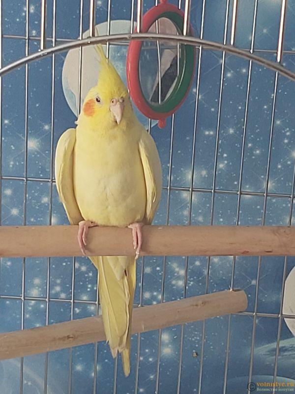 Определение пола и возраста попугаев корелла - 20210727_095355.jpg