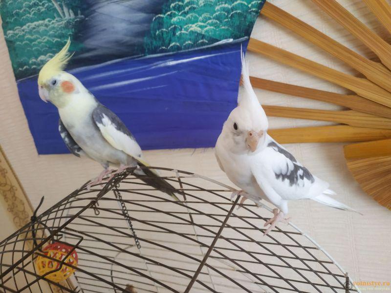 Определение пола и возраста попугаев корелла - IMG_20210807_155116.jpg