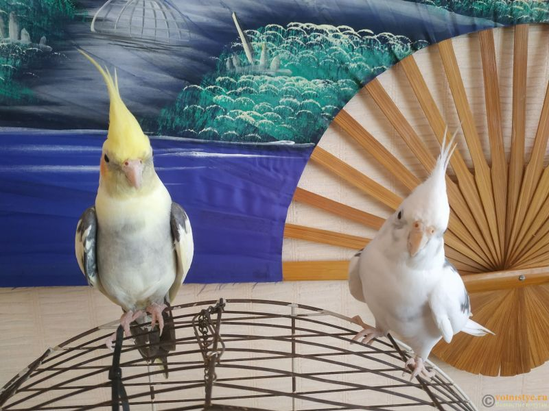 Определение пола и возраста попугаев корелла - IMG_20210807_155010.jpg