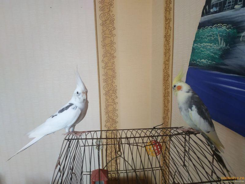 Определение пола и возраста попугаев корелла - IMG_20210807_160117.jpg