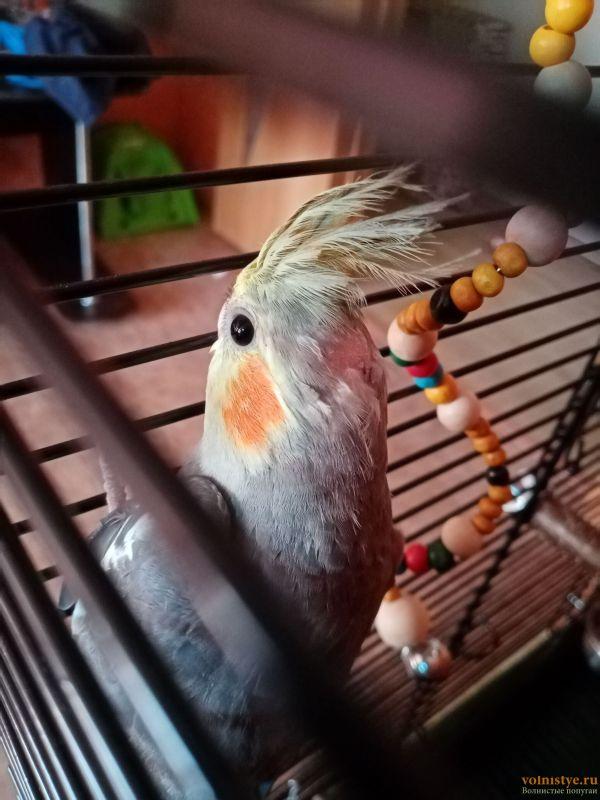 Определение пола и возраста попугаев корелла - IMG_20210820_183023.jpg