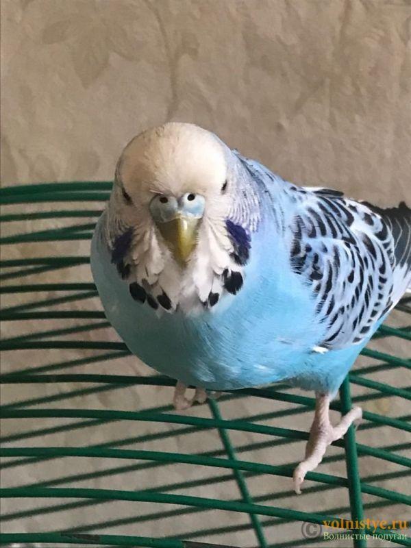 Определение пола и возраста попугаев № 13 - ED6CDCBD-6057-4348-8AD3-6130473447EF.jpeg