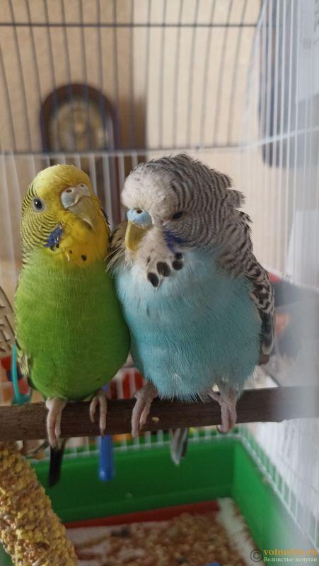 Определение пола и возраста попугаев № 13 - IMG_20210905_113848.jpg