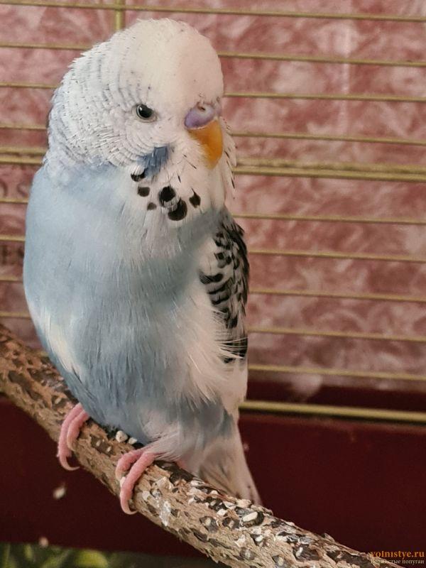 Фотографии  для статьи  окрасы волнистых попугаев - 20210906_094447.jpg