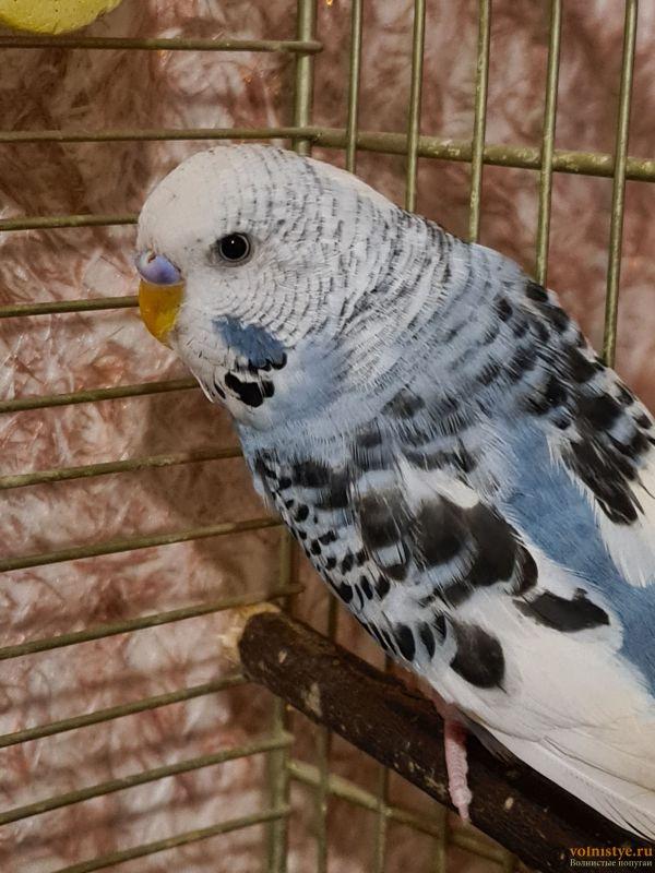 Определение пола и возраста попугаев № 13 - 20210905_203203.jpg
