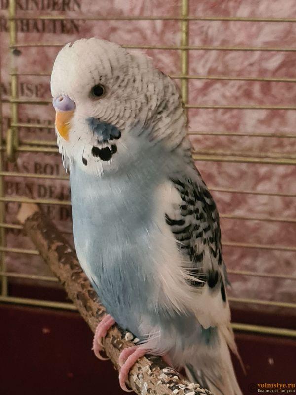 Определение пола и возраста попугаев № 13 - 20210906_094452.jpg