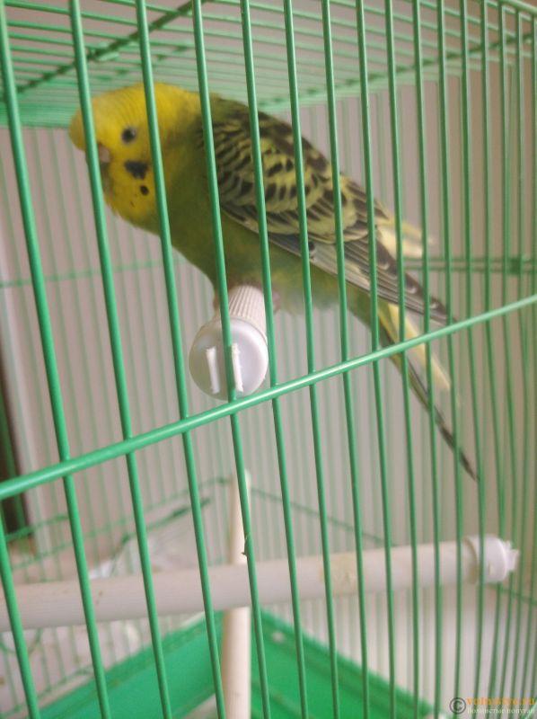 Попугай дёргает хвостом в такт дыханию! - IMG_20210913_155045.jpg