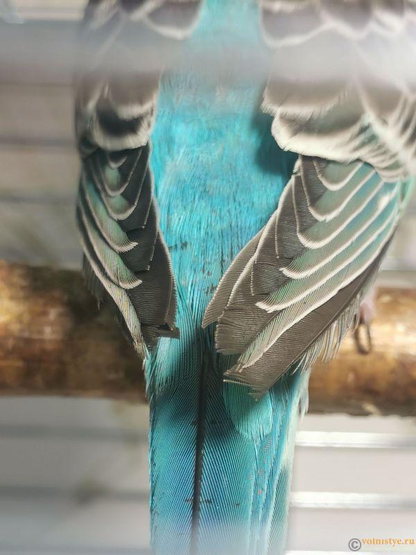 обломанныее концы на крыльях и черные точки н паре перьев на спине снизу - IMG_20210914_101248.jpg