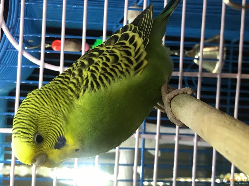 У попугайчика сел голос - FE3404EA-6219-4D62-8A41-AB53A4C46B73.jpeg