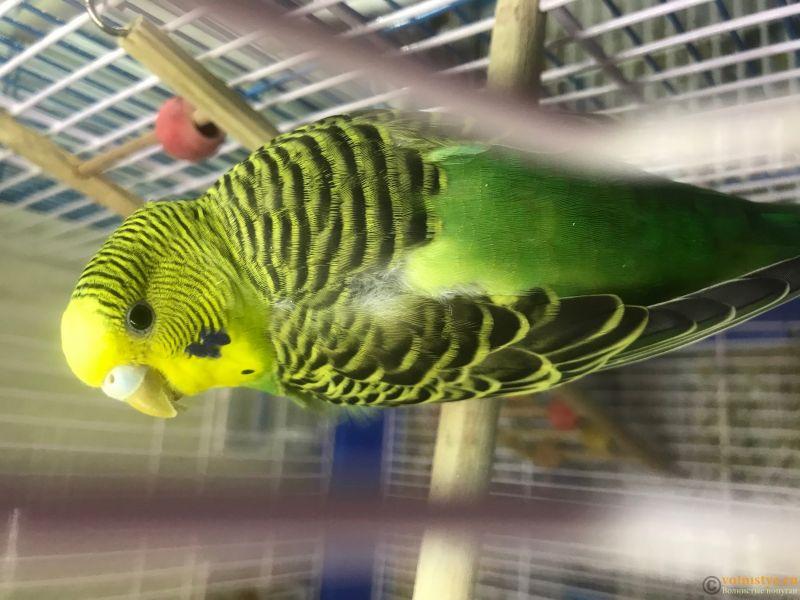 У попугайчика сел голос - F72B1652-8874-4676-BC2D-FFDBD7DB0F9B.jpeg