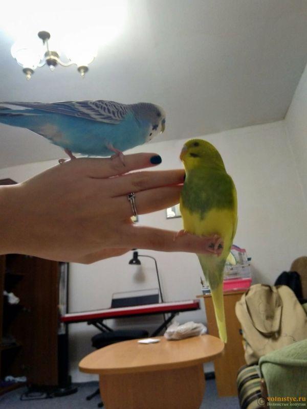 Поведение самки волнистого попугая - IMG_20210918_190722.jpg