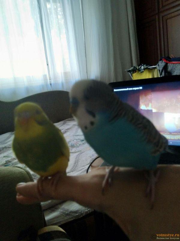 Поведение самки волнистого попугая - IMG_20210916_162000.jpg