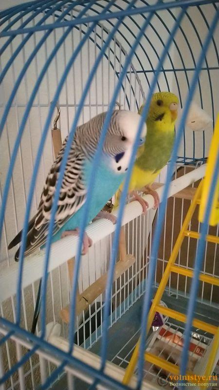 Поведение самки волнистого попугая - IMG_20210913_121759.jpg