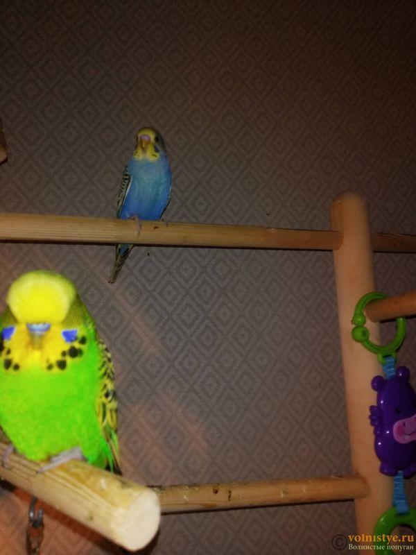 Волнистые попугаи -Птенцы Мытищи-Медведково - IMG_20210926_141343.jpg