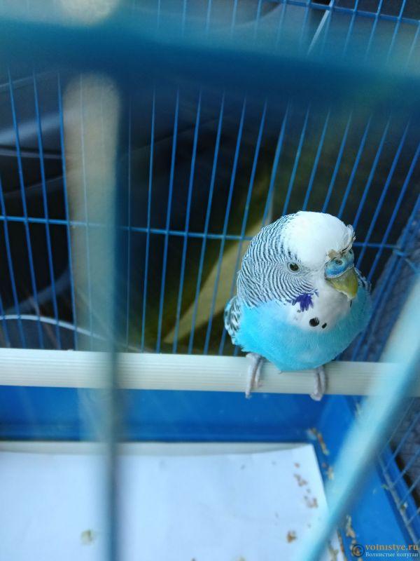 Определение пола и возраста попугаев № 13 - IMG20211008140827.jpg