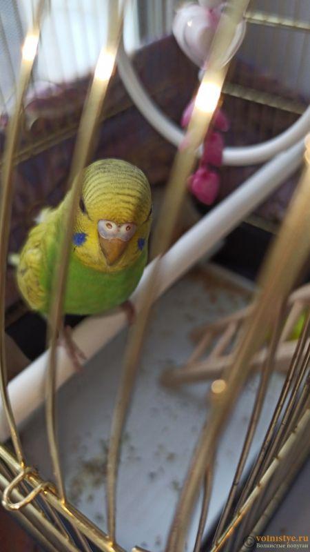 Определение пола и возраста попугаев № 13 - IMG-20211005-WA0002.jpeg