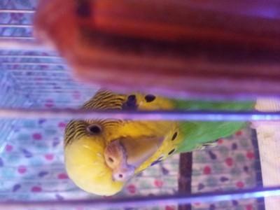 Простуда у волнистого попугая - 20141107_202512.jpg