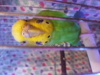 Простуда у волнистого попугая - 20141107_202524.jpg