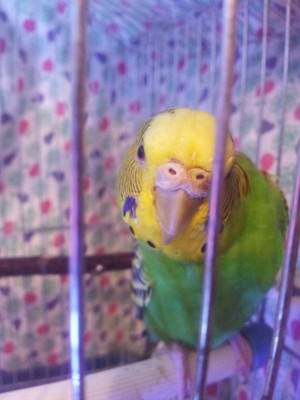 Простуда у волнистого попугая - 20141107_202518.jpg